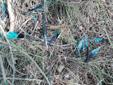 Coracias garrulus