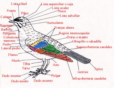 Morfología externa de una ave